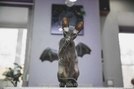 scary black young don sphynx cat with black bat wings on the background as halloween decoration, naked cat licking its front paw