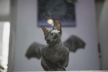 lying and chilling scary black young don sphynx cat with black bat wings on the background as halloween decoration, naked cat