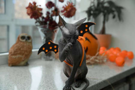 a scary black young don sphynx cat with black bat wings on its back as halloween decoration, sitting like a statue naked cat washing and licking its front paw with halloween pumpkin jack-o-lanern, dried flowers in vase and owl on the background