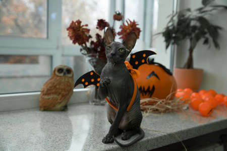 a scary black young don sphynx cat with black bat wings on its back as halloween decoration