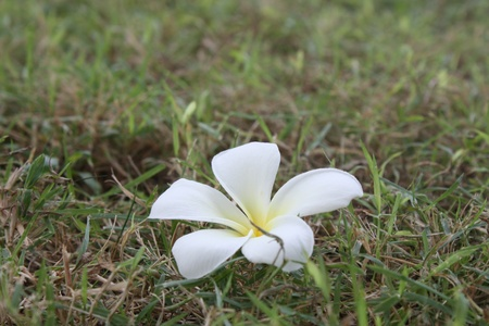 Frangipani bali solar flower