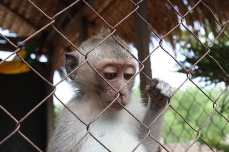 Monkey bali small in a cage Stock Photo - 13276559