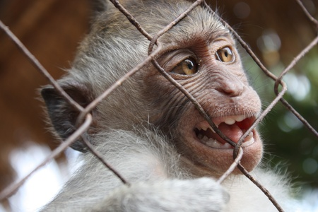 Monkey bali small in a cage Stock Photo