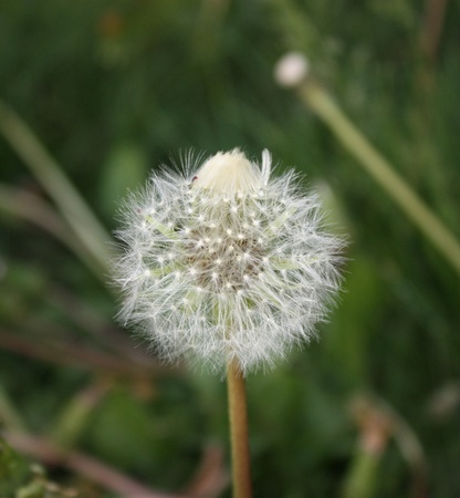 White fluffy dandelion Stock Photo - 13276561
