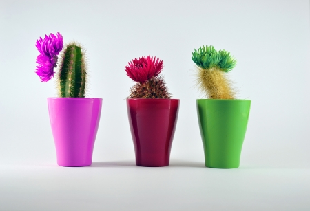 cactuses in the pots photo