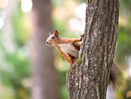 animales del bosque: Ardilla roja sentado en el árbol