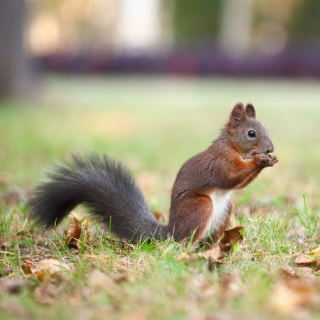 Eating squirrel sitting on the grass Stock Photo