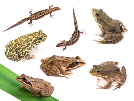 Collection of amphibians and reptiles isolated on white background Stock Photo - 7995667