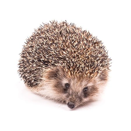 Small hedgehog isolated on white photo