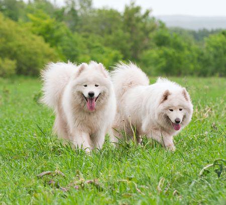 Deux chiens samoyed sur le pr�  Banque d'images