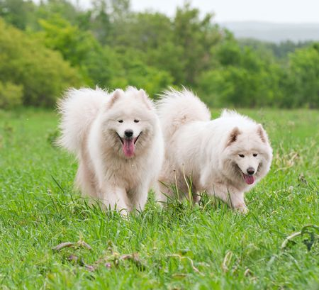 Two samoyed dogs on the meadow photo
