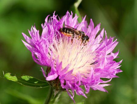Honeybee on a purple thistle photo