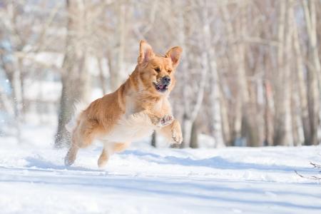 agility: Golden retriever jump