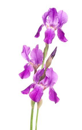 blueflag: Iris violeta aislado en un fondo blanco  Foto de archivo