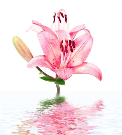 Wet pink lilly with reflection in the water surface photo