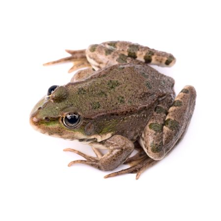 Green frog isolated photo