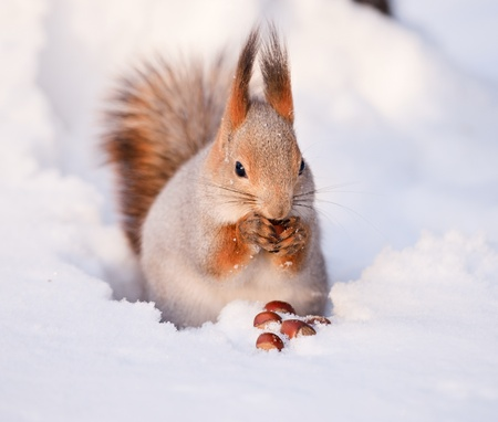 squirrel: Squirrel eating nut on the snow Stock Photo