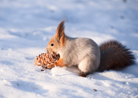 red squirrel: Squirrel with a cedar cone Stock Photo