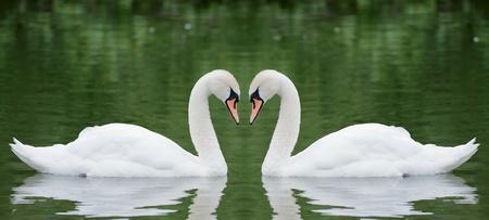 cisnes: Dos cisnes