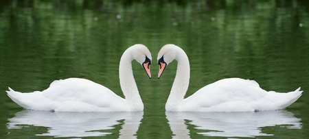 swan pair: Two swans Stock Photo