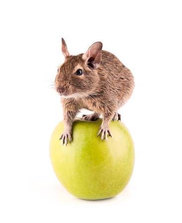 Young degu sitting on the apple  4 month  photo