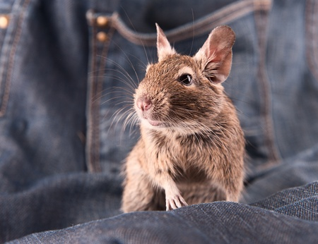 Young degu staying on the jeans (4 month) photo