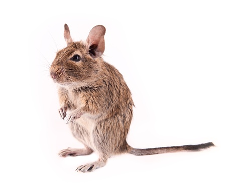 Young degu isolated Stock Photo - 13566473