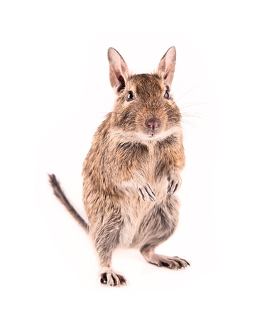 Young degu isolated Stock Photo - 13593189