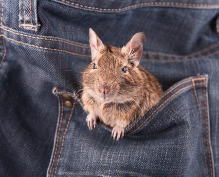 Degu in the pocket photo