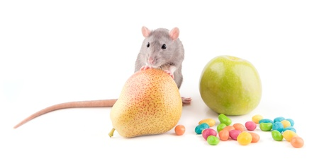 hairy pear: Rat with food isolated
