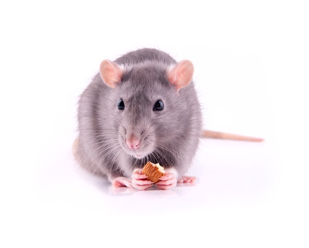 Rat eating almonds Stock Photo - 13747770