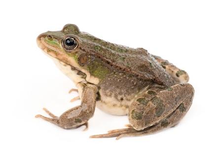 лягушка: Лягушка на белом фоне