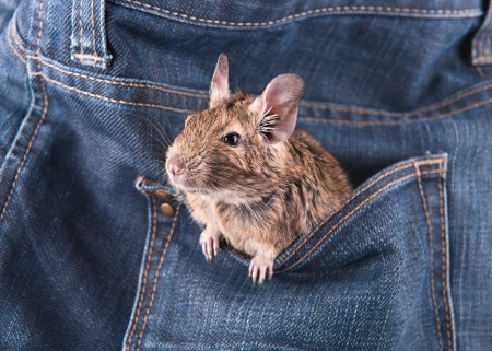 Degu in the pocket photo
