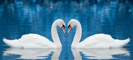 swimming swan: Couple of swans Stock Photo