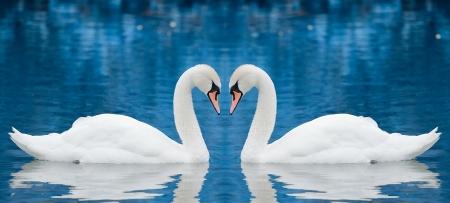 swan pair: Couple of swans Stock Photo