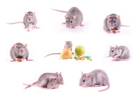Set of rats isolated on white photo