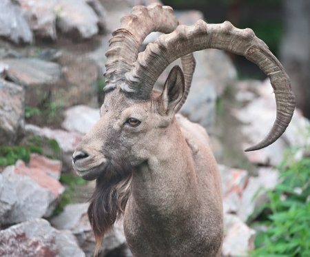 Ibex siberiano photo