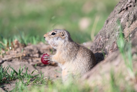 burrowing: Gopher eats grape Stock Photo
