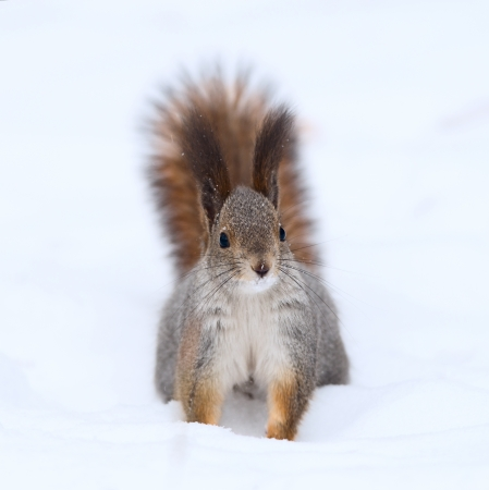 red squirrel: Curious squirrel on the snow