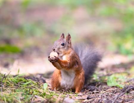 red squirrel: Squirrel with a hazelnut