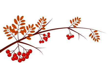 rowan: Rowan branch isolated on white