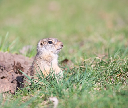 watchful: Watchful gopher