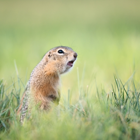 squeak: Screaming gopher