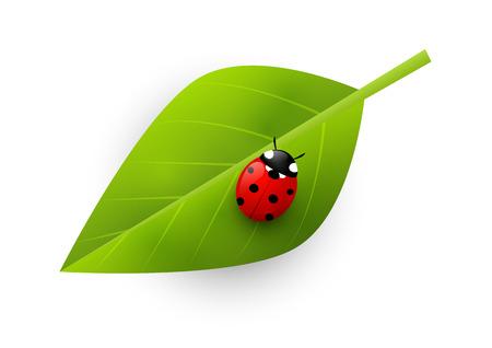 ladybug: Red ladybug on green leaf
