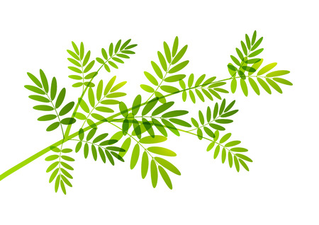 rowan: Rowan tree branch on white Illustration