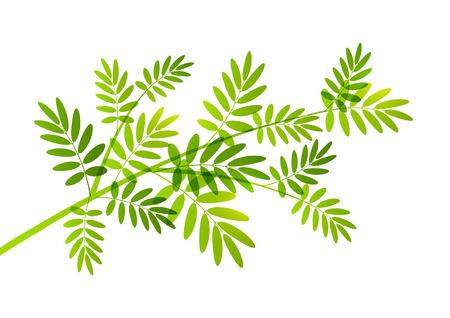 rowan tree: Rowan tree branch on white Illustration