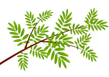 rowan: Rowan tree branch on white Illustration