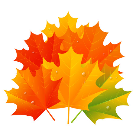 leaf water drop: Autumn maple leaves isolated on white