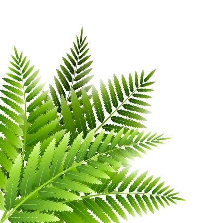 Mazzo di foglie di felce verde isolato su bianco