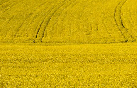 Full size colza field with tractor lines in the background.